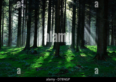 Ireland, County Monaghan, Rossmore Forest Park, Winter sun rays shining through part silhouetted conifer trees. - Stock Photo