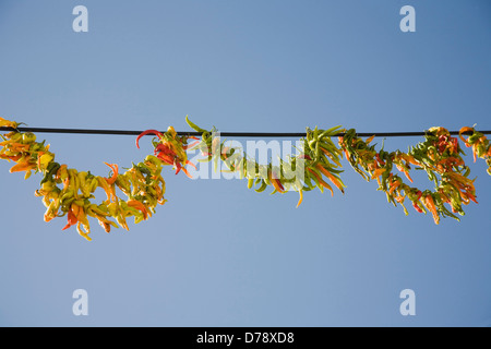 Turkey Aydin Province Kusadasi Strings of brightly coloured chilies hanging up to dry in late afternoon summer sunshine - Stock Photo