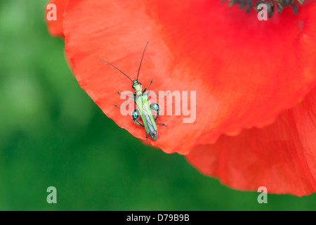 Part view of red Field poppy, Papaver rhoeas, with Thick-legged Flower Beetle, Oedemera nobilis, on petal. - Stock Photo
