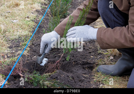 Hecke pflanzen Eibe - planting a taxus hedge 04 - Stock Photo