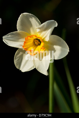One orange and white Narcissus Jonquil Daffodil flower - Stock Photo