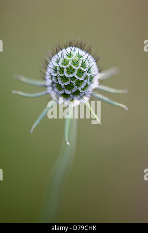 Spherical seedhead of Scabiosa columbaria Butterfly blue. - Stock Photo