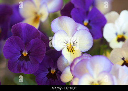 Purple and white flowers of the Pansy, Viola 'Sorbet Ocean Breeze', growing outdoors in a garden. - Stock Photo
