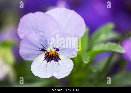 Single flower of  the Pansy Viola Sorbet Ocean Breeze with raindrops on petals growing outdoors in a garden. - Stock Photo