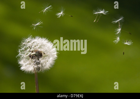 Dandelion Seed Dispersal by Wind - Stock Photo