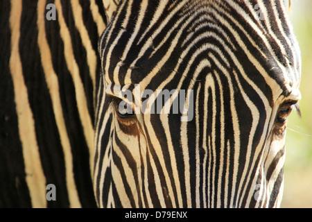 Close up of Grevy's Zebra (Equus grevyi)
