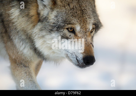 wolf walking in snow, Germany - Stock Photo