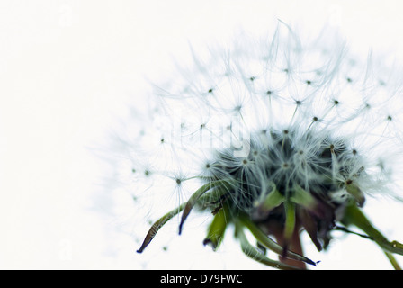 Dandelion, Cropped view of single dandelion seed head captured to highlight details. - Stock Photo