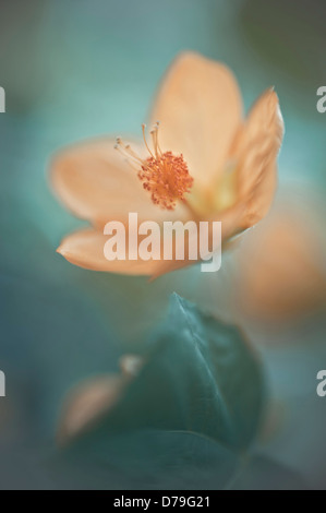 Abutilon x hybridum, Single flower with selective focus - Stock Photo