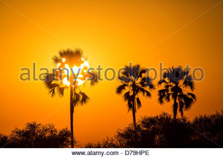 Botswana Okavango Delta Sunrise over palm trees - Stock Photo