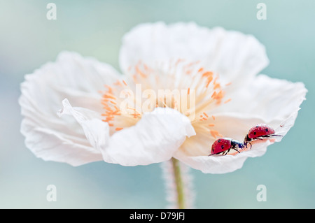 Iceland poppy,  Papaver nudicaule, with pair of Ladybirds, Coccinellidae family, facing each other on crumpled white - Stock Photo