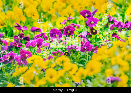 Purple pansy flowers in spring garden - Stock Photo