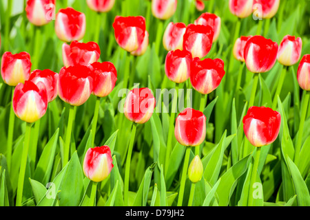Red new tulips in the garden in spring - Stock Photo