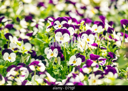 Beautiful purple pansy flowers in spring garden - Stock Photo
