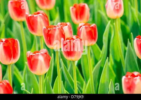 Red beautiful tulips in spring - Stock Photo