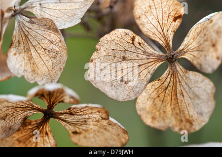 Translucent, spent and dried flowers of Hydrangea macrophylla 'Mariesii Perfecta' with network of veins. - Stock Photo