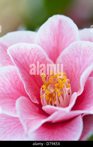 Single pink flower of Camelia japonica 'Yours Truly' with delicate veining extending over petals and yellow stamen - Stock Photo