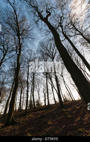 Beech trees, Fagus sylvatica, in a winter woodland setting silhouetted against pale blue sky. - Stock Photo