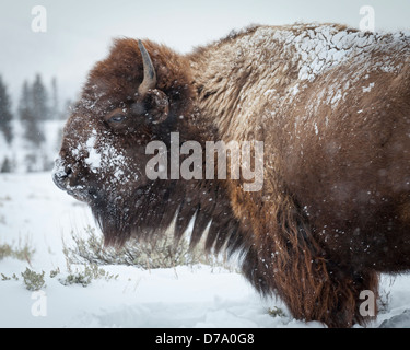Yellowstone National Park, WY: American Bison covered with morning frost in the Lamar Valley, winter - Stock Photo