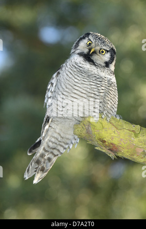 Hawk Owl - Surnia ulula - Stock Photo