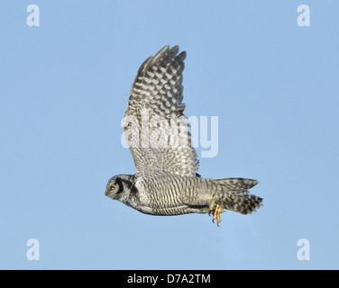 Hawk Owl - Surnia ulula - Stock Photo