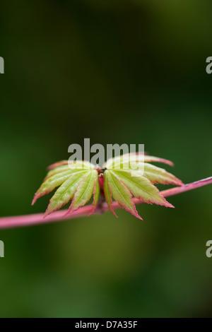 Acer palmatum sango kaku. New Leaves emerging on a Japanese Maple tree in spring. UK - Stock Photo