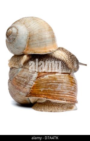 Snail isolated on white background - Stock Photo