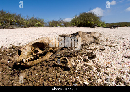 Corpse young Galapagos Sea lion Zalophus wollebaeki on beach Marine Iguanas in background Punta Suarez Espanola - Stock Photo