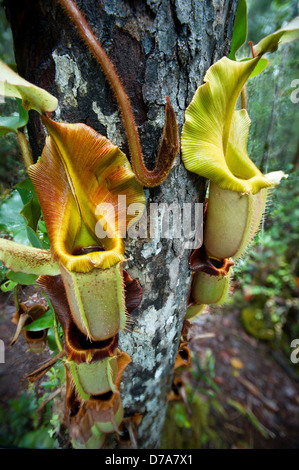 Large aerial pitcher Pitcher plants Nepenthes veitchii in montane mossy heath forest Maliau Basin Sabah State Island - Stock Photo