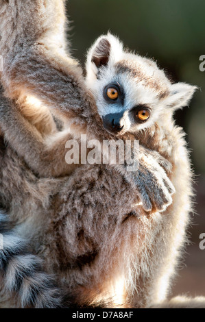 Infant Ring-Tailed lemur Lemur catta 6-8 weeks clinging to mother Berenty Private Reserve Madagascar - Stock Photo