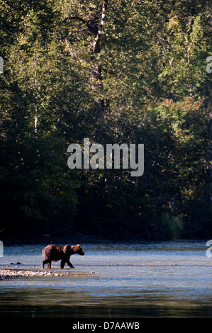 Grizzly bear Ursus arctos horribilis walking on frozen river Atnarko River Tweedsmuir South Provincial Park British - Stock Photo