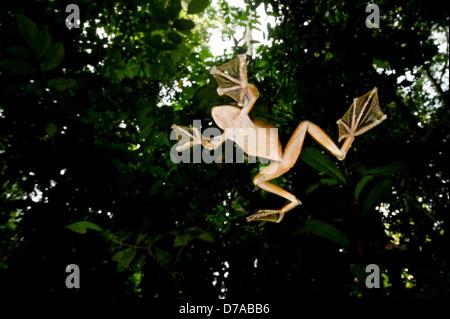 Wallace's Flying frog Rhacophorus nigropalmatus perched in understory vegetation Danum Valley Sabah State Island - Stock Photo