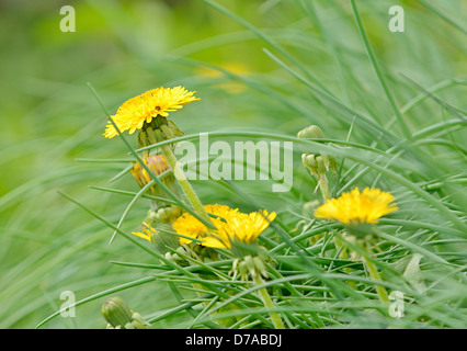 Closeup shot with yellow dandelion in the grass. - Stock Photo