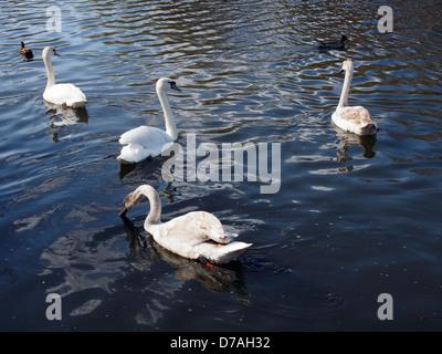 Four mute swans swimming - Stock Photo