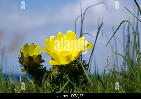 Closeup of a Pheasant´s Eye flower at grass roots level. From the island Oland in Sweden. - Stock Photo