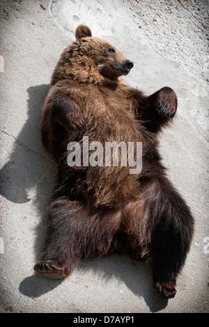 Brown bear lying on the ground (Ursus arctos arctos). - Stock Photo