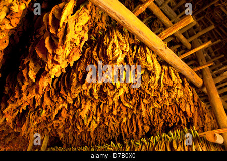 tobacco leaves drying in a Barn in the Vinales Valley, Vinales, Pinar del Rio, Cuba, Caribbean - Stock Photo