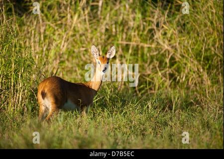 Oribi (Ourebia ourebi), Gorongosa National Park, Mozambique - Stock Photo