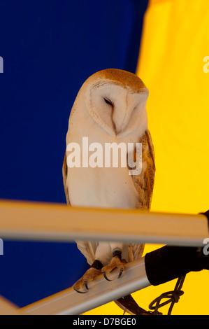 Barn Owl (Tyto alba)  captive.
