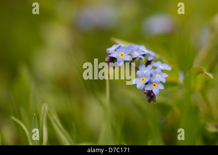 Myosotis arvensis. Forget me not flowers - Stock Photo