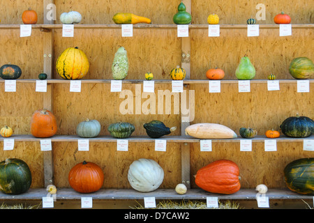 Several different colored pumpkins are shown on a wooden shelf. - Stock Photo