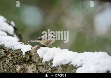 Carolina chickadee (poecile carolinensis) standing on a snowy log;Ohio united states of america - Stock Photo
