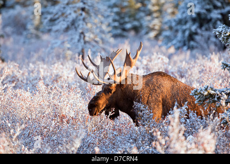 Moose bull feeding on dwarf birch, lit up by morning light after first snow of autumn, denali national park;Alaska - Stock Photo