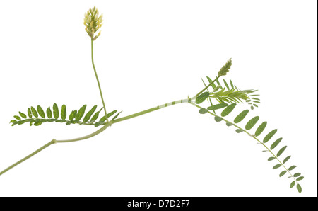 single flower liquorice (Glycyrrhiza) on white background - Stock Photo