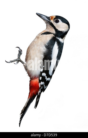 Great Spotted Woodpecker isolated on white background - Stock Photo