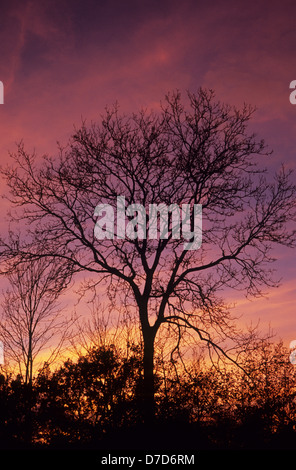 Bare winter Common ash and English oak trees silhouetted against purple and orange sunset sky - Stock Photo