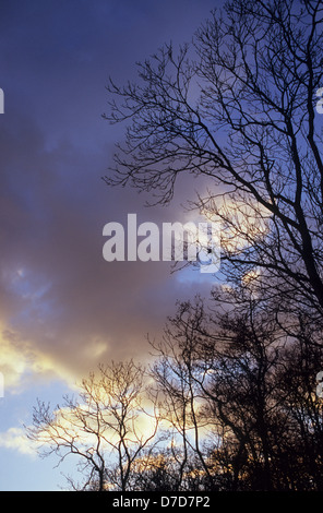 Bare winter Common ash and Common alder trees silhouetted against evening sky with golden clouds - Stock Photo