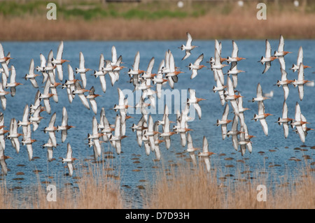 A Flock of Black Tailed Godwit flying together over water, Oare Marshes, Kent, UK - Stock Photo