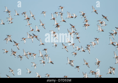 A Flock of Black Tailed Godwit flying together against a blue sky, Oare Marshes, Kent, UK - Stock Photo