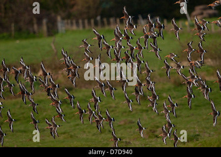 A Flock of Black Tailed Godwit flying together over fields, Oare Marshes, Kent, UK - Stock Photo